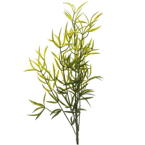 Asparagus falcatus 69cm
