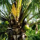 Kokosblütenzucker aus Indonesien Bio 1000g