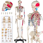 Tectake Anatomieskelett mit Muskel Nummerierung weiß