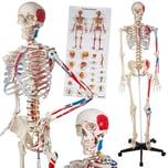Tectake Anatomieskelett mit Muskel und Knochen Nummerierung weiß