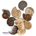 """EDUPLAY 360065 Archäologieset """"Ammonite"""", 2-teilig (1 Set)"""