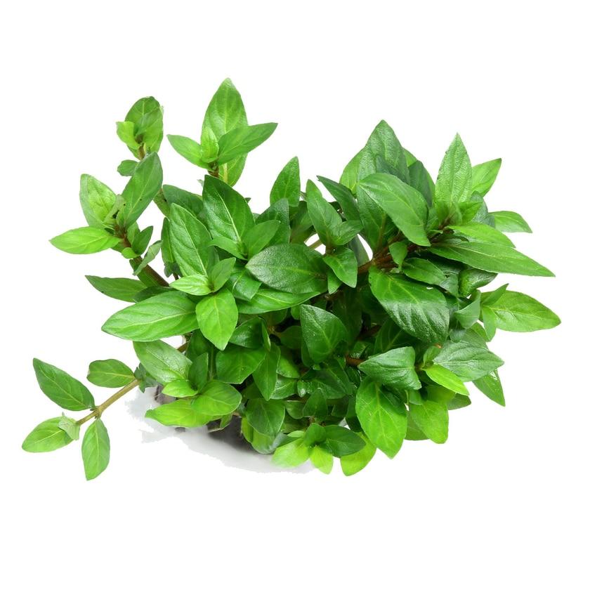 Dennerle Aquarienpflanze Staurogyne repens In-Vitro