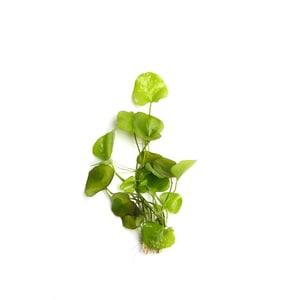 Dennerle Aquarienpflanze Nymphoides spec. ´Taiwan´ In-Vitro