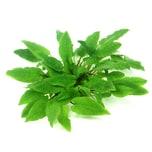 Dennerle Aquarienpflanze Cryptocoryne wendtii ´Broad Leaf´ In-Vitro